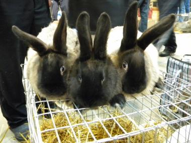 Кролики кролики породы Советский Мардер