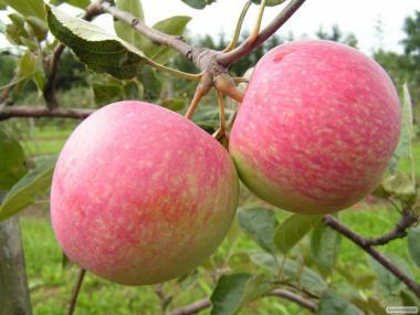 Саджанці яблуні сорту Слава Переможцям, від виробника