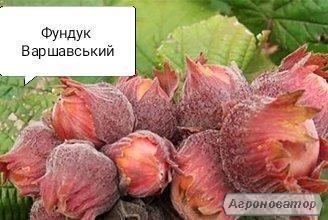 Фундук Варшавский саженцы