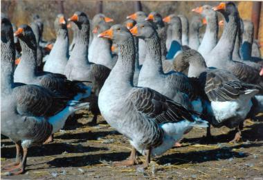 Продаємо добові гусята породи
