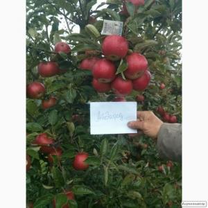 Реалізуємо червоні Яблука Оптом. Айдаред, Джонаголд. 1-й, 2-й сорт.