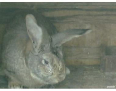Продам кроликов породы бельгийий фландр