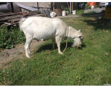 Продам племінного зааненского козла і козенят