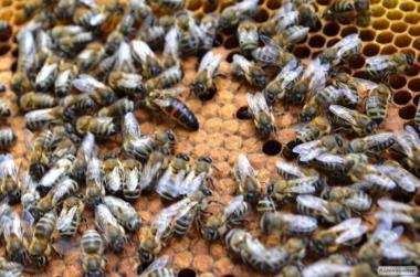 Пчеломатки Украинская Степная порода
