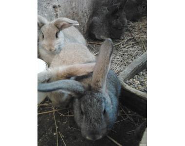 Продам молодняк кролів