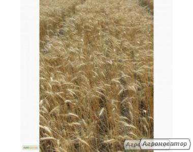 Насіння пшениці озимої - сорт Пошана. Еліта й 1 репродукція