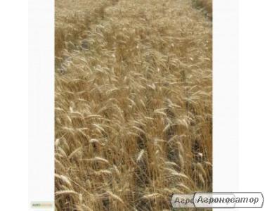 Семена пшеницы озимой - сорт Уважение. Элита и 1 репродукция