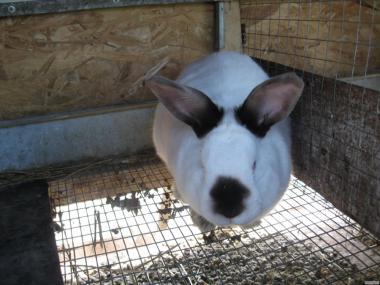 Продам Каліфорнійських кроликів