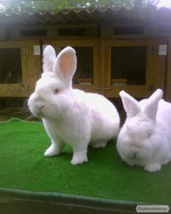 продам племінних чистопородних кролів м'ясного напряму
