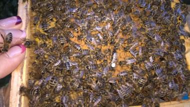 Продам пчеломатки карпатка 2016