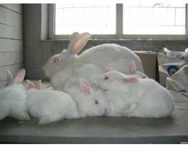 Продам кроликов Белый паннон (доставка по Украине)