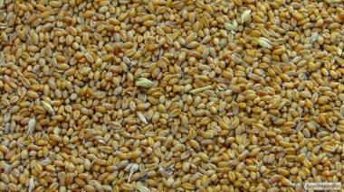 Пшеница или ячмень. Выбирайте сами.