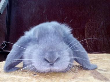 Кролики французький баран м'ясної породи