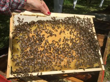 Продам пчеломатки «Карпатка»