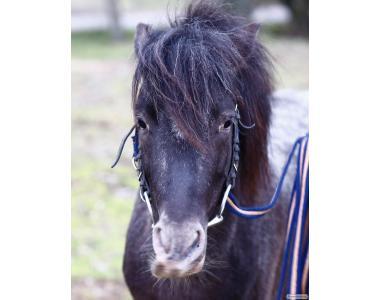 Чубарый пони