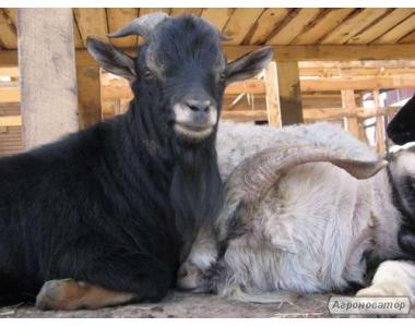 продам племінного козла