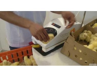 Вакцинация суточных цыплят против болезни Марека