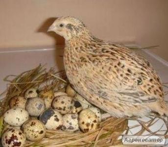 Продам інкубаційні перепелині яйця