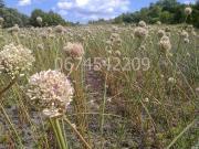 Продам насіння озимого часнику ( воздушка )