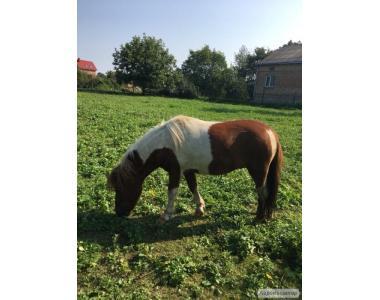 Продаю поні, пони жеребець