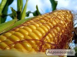 НОВИНКА !!! Насіння кукурудзи Тесла (ФАО 350)
