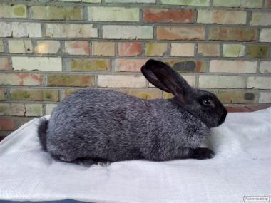 Кролики породи Сріблястий