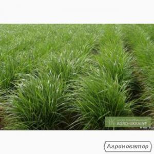 Продам насіння Чуфи(земляний мигдаль)