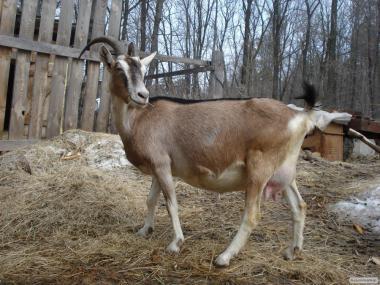 Продам дійних кіз і козенят Альпійці.