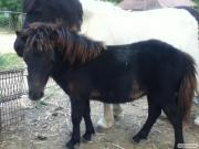 Пони кобылка