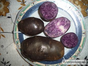 Продам картофель сорт Черный конго.