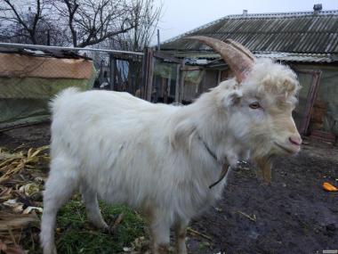 Срочно продам козла