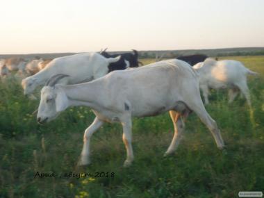 Продам дійну нубозааненскую козу покриту 100% нубійським цапом