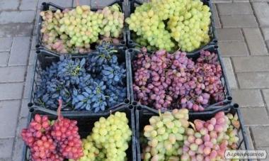 Саженцы винограда из питомника