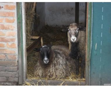 вівцематка та двоє ягнят, романовська