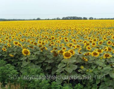 Купити Бонд, насіння соняшнику подгранстар