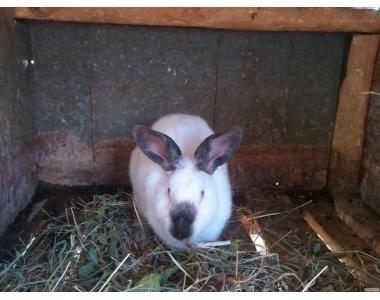 продам каліфорнійські кролі