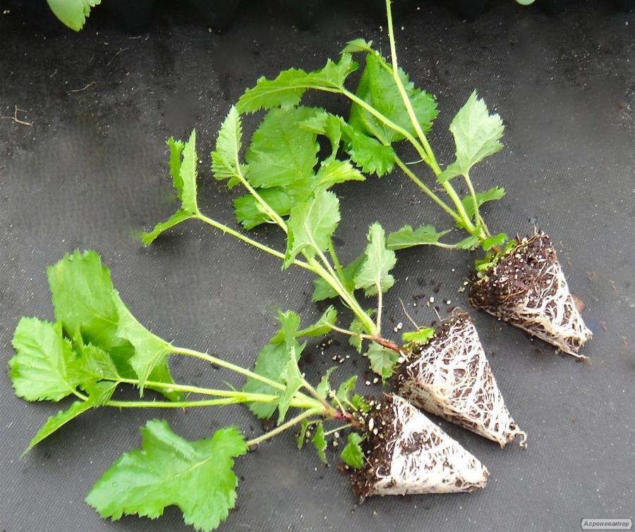 Как вырастить ежевику из семян в домашних