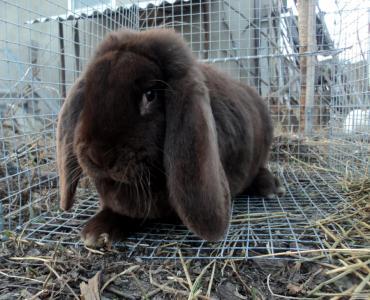 Продається самка кролики французький баран гавана 6 міс
