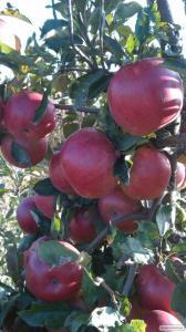 Продам яблоки. Разные сорта.