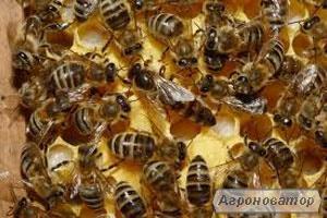 Продам пчеломатки карника