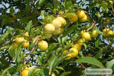 Высококачественные саженцы сливы сорта Желтая Афаска, от производителя