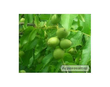 Саджанці грецького горіха