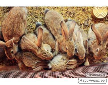 Продам кроликів породи Строкач