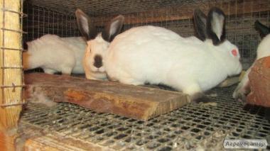 Продам каліфорнійських кролів, кроликів та кролячі клітки.