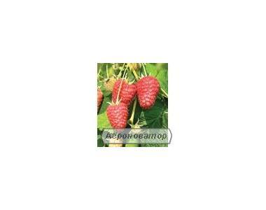 Саженцы малины, сорт