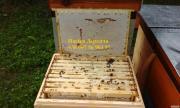продам 500 своїх бджолопакетів