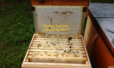 продам 500 своих пчелопакетов
