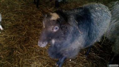 Продам барана порода Романовская