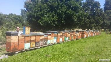 Бджоломатки італійської породьі