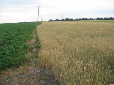 пшеница 2 , 3 кл.  чиста, суха